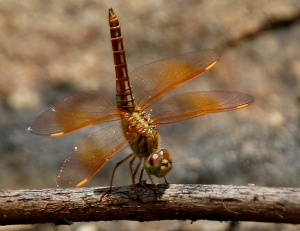 ditch_jewel_brachythemis_contaminata-_female_w_img_0508