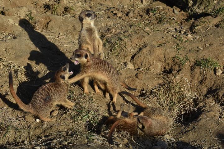 meerkat-2077317_1920